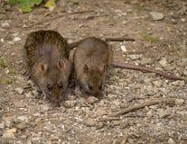 крысы Стоковые Фото