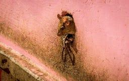 крысы стоковое изображение