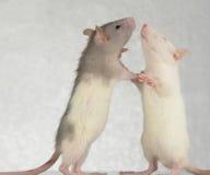 крысы стоковые изображения rf