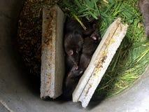 Крысы Bandicoot Bandicota стоковое фото
