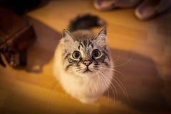 Крытое фото священного кота birman стоковое изображение rf