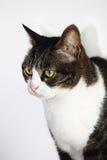 Крытый европейский профиль кота Стоковая Фотография RF