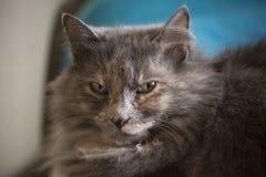 Крытый кот Стоковые Фотографии RF