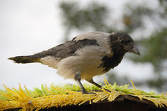 крыша ворона Стоковая Фотография RF