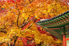 Крыша дерева Gyeongbukgung и клена в осени Стоковые Изображения RF