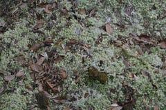 Крышка волос мха или мох волос Стоковые Изображения RF