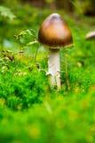 Крышка гриба коричневая в древесинах, на предпосылке зеленой травы, осень Стоковое Изображение RF
