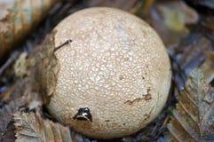 Крышка гриба круглая бежевая растет в древесинах Стоковое Фото