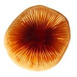 Крышка гриба меда Стоковое Изображение RF