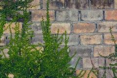 Крышка листьев зеленого цвета на кирпичной стене Стоковая Фотография RF