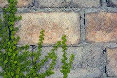 Крышка листьев зеленого цвета на кирпичной стене Стоковые Изображения