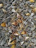 Крышка леса конуса сосны земная Стоковые Изображения RF