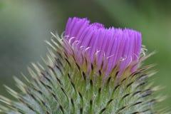 Крышка 02 фиолетового клевера Стоковые Фото