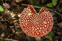 Крышка toadstool muscaria мухомора Стоковые Фото