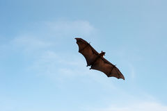 Крылан летания Стоковая Фотография
