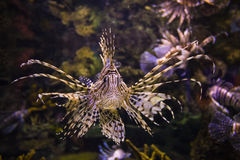 Крылатка-зебра, залив Сиама Стоковые Фотографии RF