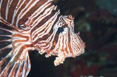 Крылатка-зебра Стоковые Фотографии RF