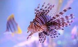 Крылатка-зебра Стоковое фото RF