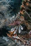 Крылатка-зебра 5 Стоковые Изображения