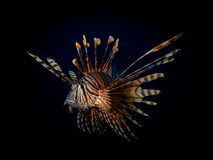 Крылатка-зебра Стоковое Фото