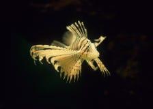Крылатка-зебра Стоковые Фото