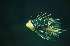 Крылатка-зебра Clearfin Стоковые Изображения