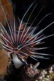Крылатка-зебра Clearfin Стоковые Изображения RF