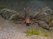 Крылатка-зебра Kodipungi стоковая фотография