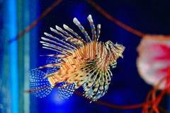 Крылатка-зебра, Turkeyfish, Firefish, Бабочк-треска Стоковое Фото
