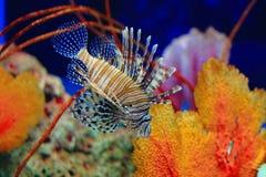 Крылатка-зебра, Turkeyfish, Firefish, Бабочк-треска Стоковое Изображение RF