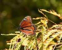 Крыла бабочки наместника распространяя Стоковые Изображения RF