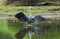 Крыла большого голубого herron распространяя Стоковые Изображения