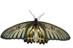 Крыла взгляд сверху открытые общей бабочки Birdwing Стоковые Фотографии RF