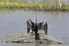 Крыла восточной змеешейки сухие над болотом стоковое изображение
