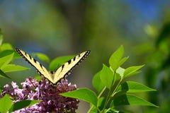 Крыла в тигре Swallowtail v восточном на парке розовой сирени высоком Стоковое Фото