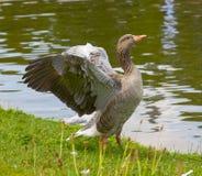 Крыла гусыни Greylag распространяя Стоковая Фотография