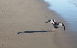 Крыла засыхания чайки на пляже Стоковая Фотография