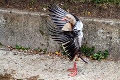 Крыла дикой утки открытые Стоковое фото RF