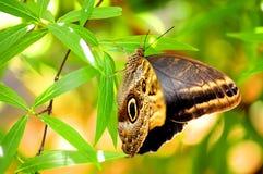Крыла отверстия бабочки сыча Стоковое Изображение RF