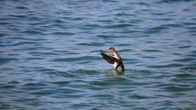 Крыла одного красно--breasted flapping merganser в открытом море стоковые фото