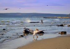 Крыла пеликана бравируя на пляже Стоковое Фото