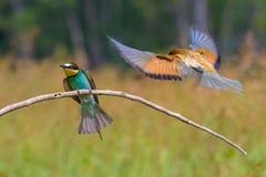 крыла Пчел-едока распространяя Стоковые Фотографии RF