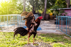Крыла тайских Gamecocks порхая Стоковые Фото