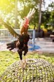 Крыла тайских Gamecocks порхая Стоковая Фотография