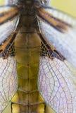 Крыла Dragonfly близкие поднимающие вверх Стоковое Изображение