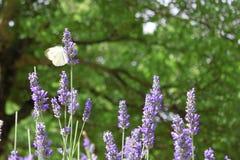 Крыла flapping бабочки на лаванде Стоковые Фотографии RF