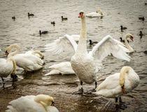 Крыла flapping безгласного лебедя Стоковые Фото