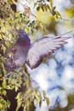 Крыла flapping голубя на ветви Стоковое Фото