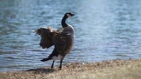 Крыла flapping гусыни озером стоковое фото rf