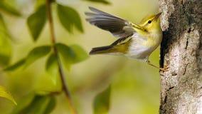 Крыла flapping деревянной певчей птицы на ветви тополя стоковая фотография